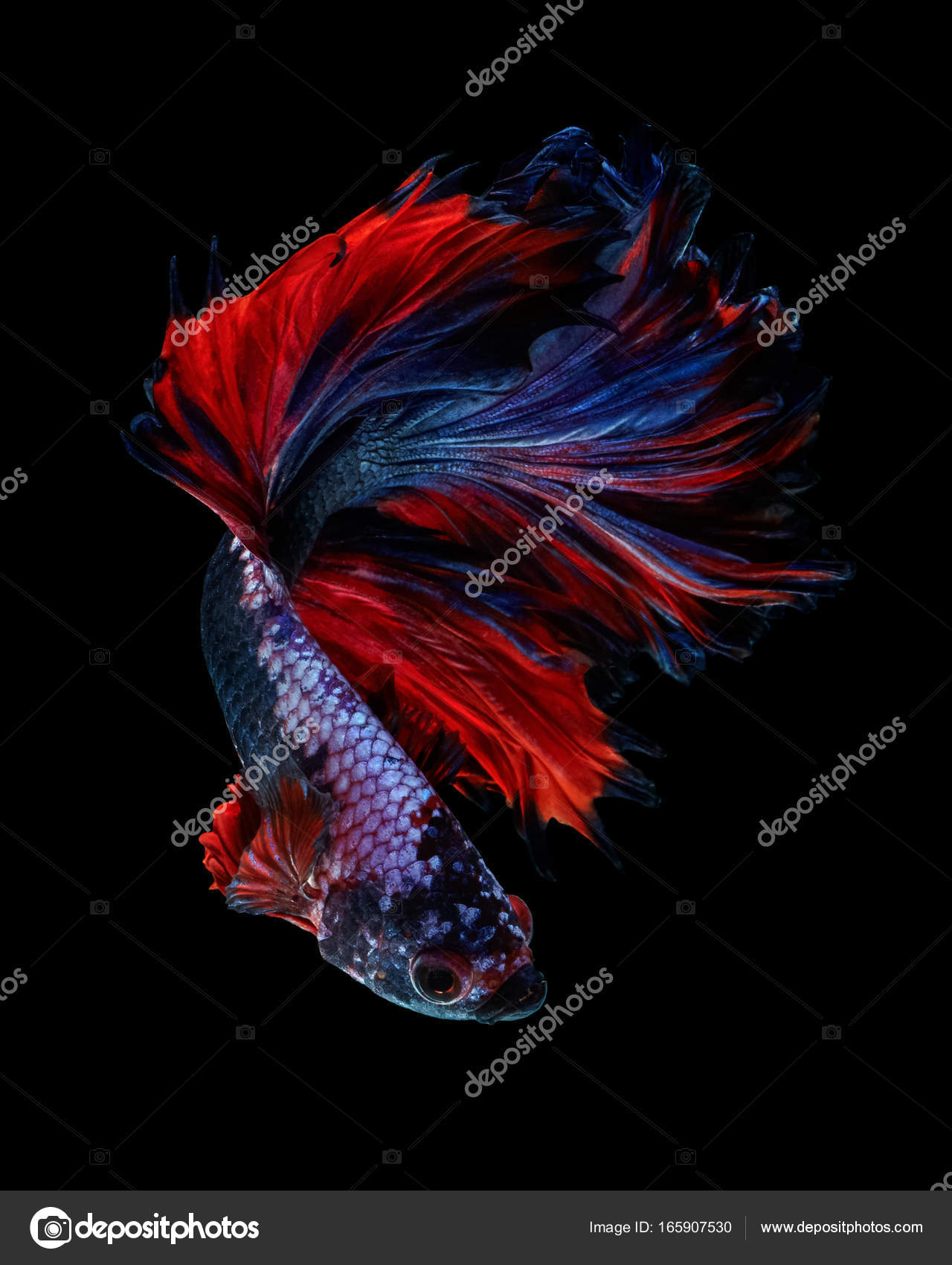 Power Color Betta Fish Rosetail Betta Fancy Isolated Black ...