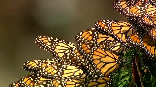 Császári pillangó szárnyak közelsége
