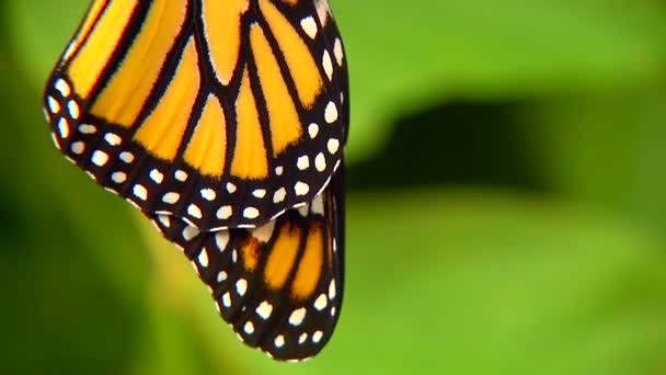 Detailní záběr na motýla monarchy, který se právě vylíhl