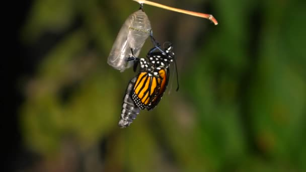 A time-lapse of a monarch butterfly hatching from its chrysalis