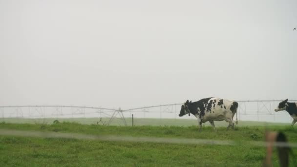 Cows galloping past the camera in a fenced off field, KwaZulu-Natal, South Africa