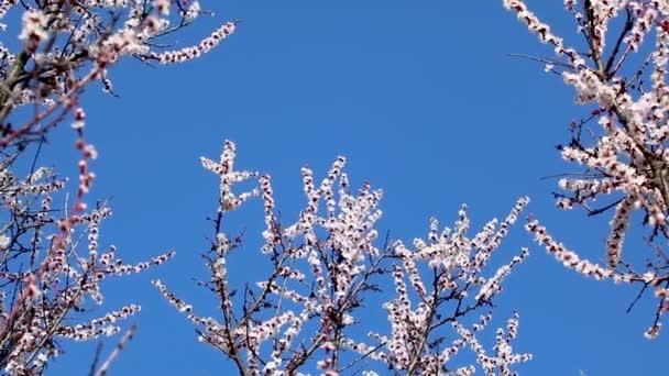 Bílé růžové květy třešní kvetou zblízka na jasně modré obloze. Romantické jarní okvětní lístky příroda detaily s rozmazané pozadí videa