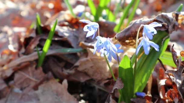 Modrá scilla divoké sněhové kapky květ jarní květiny příroda makro v lese. Pěkný krásný romantický sunny jaro čas video close up divoký příroda