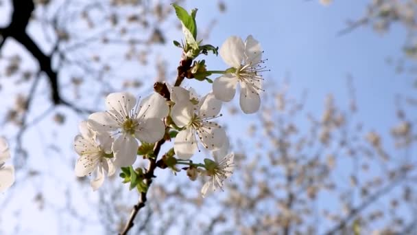 White cherry blooming flowers close-up in warm sunset light with blue sky. Romantic spring delicate flower petals nature with blurred background video