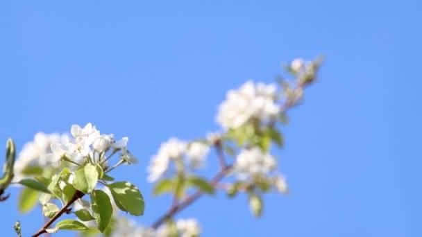 Hruška jaro jemné bílé květy větev kvetoucí v zahradě na čisté modré obloze pozadí. Waving in wind video