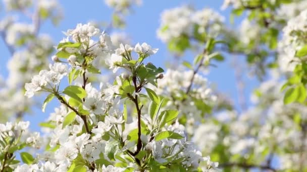 Pear tree spring delicate white flowers bloom in garden with green leaves and blurred waving in wind slow-motion video