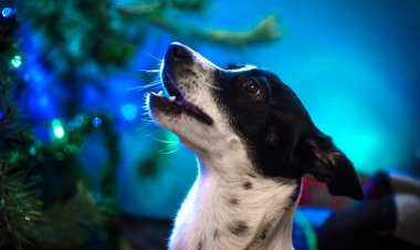 Portrait of a basenji dog in profile on a blue background with a garland, on the eve of the holiday