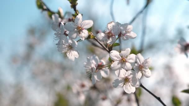 Beautiful spring white fruit flowers