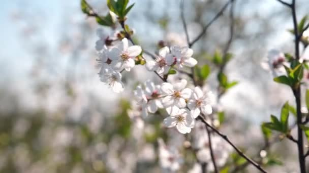Beautiful spring white fruits flowers in bloom. Cherry branch with blossoms of japanese tree Sakura in garden. Close up. Colours of nature.