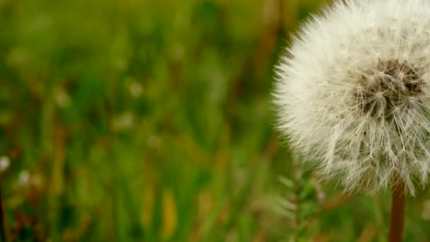 Fascinující zblízka pomalý záběr načechraného bílého semínka pampelišky rostoucí na organickém květinovém poli