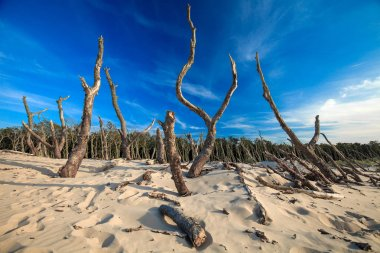 Dry old trees at the dunes in Slowinski national park. Leba, Poland