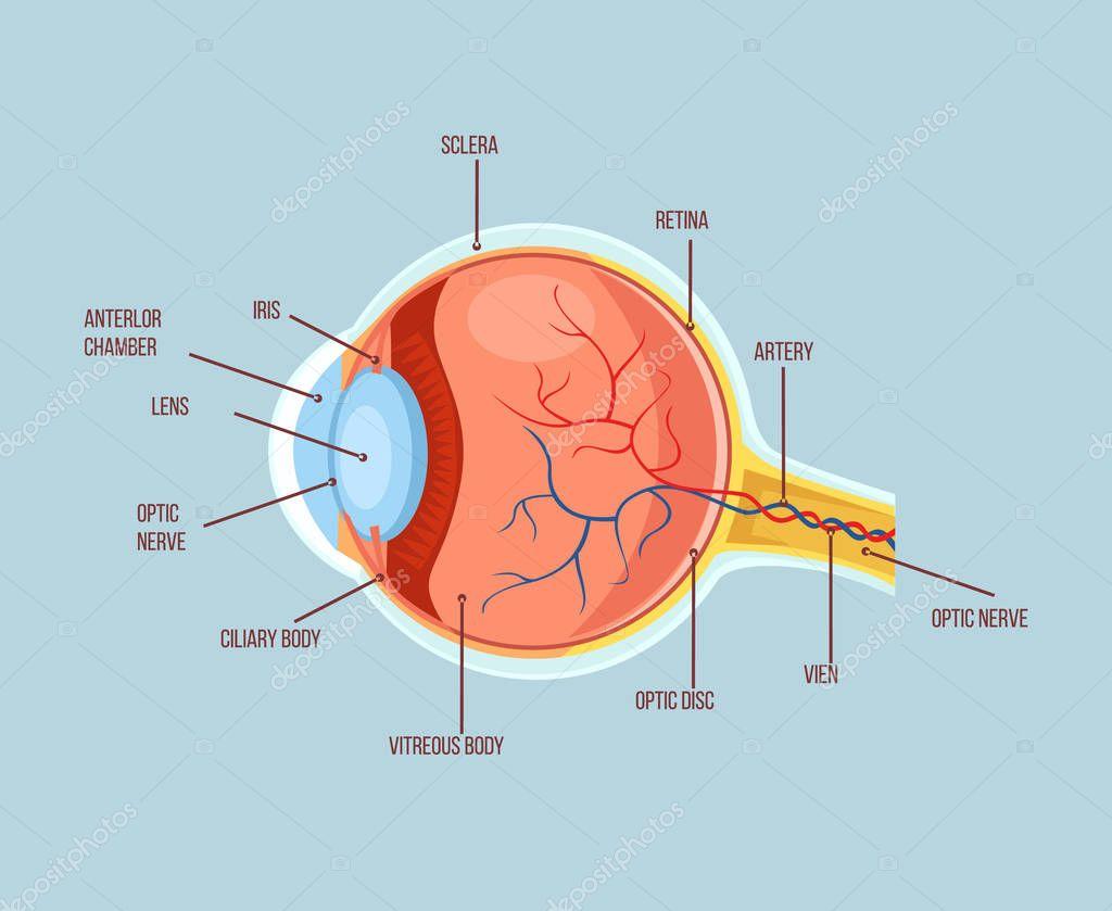 Ojo humano estructura anatomía de colores. Ilustración de dibujos ...