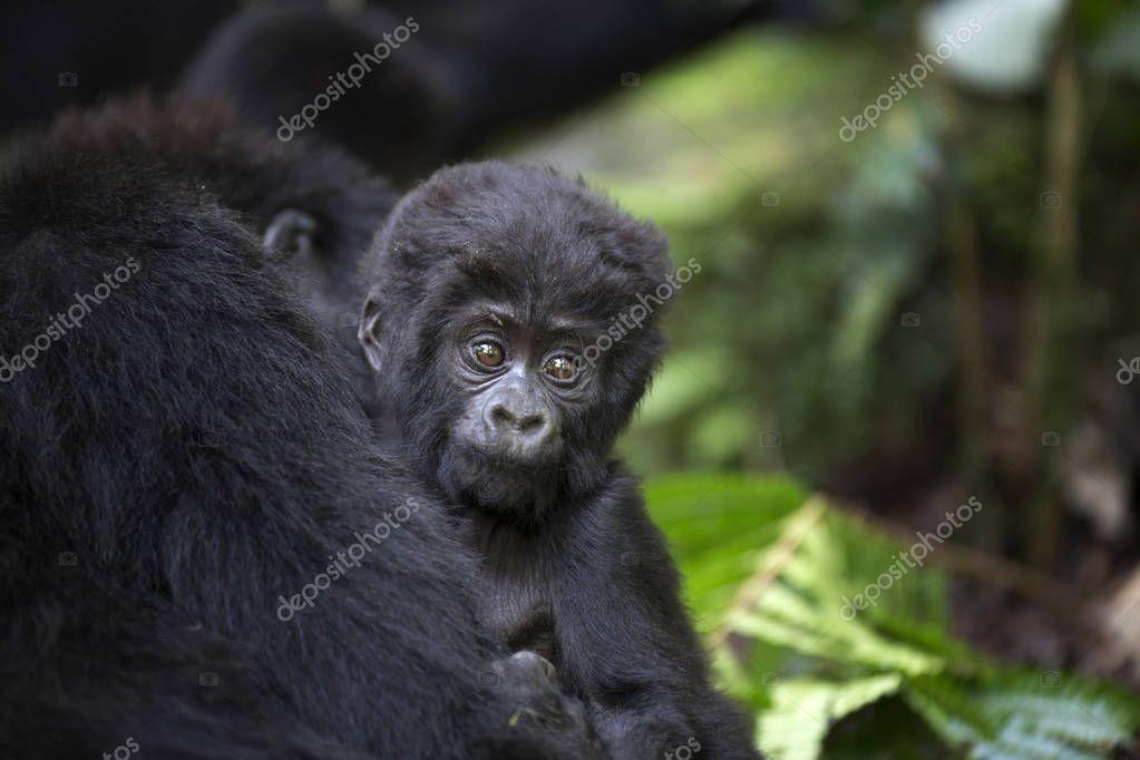Portrait of wild baby mountain gorilla