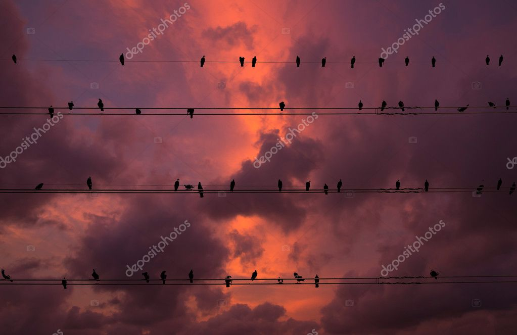 Pigeons on electrical wires