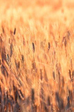 Barley rice field