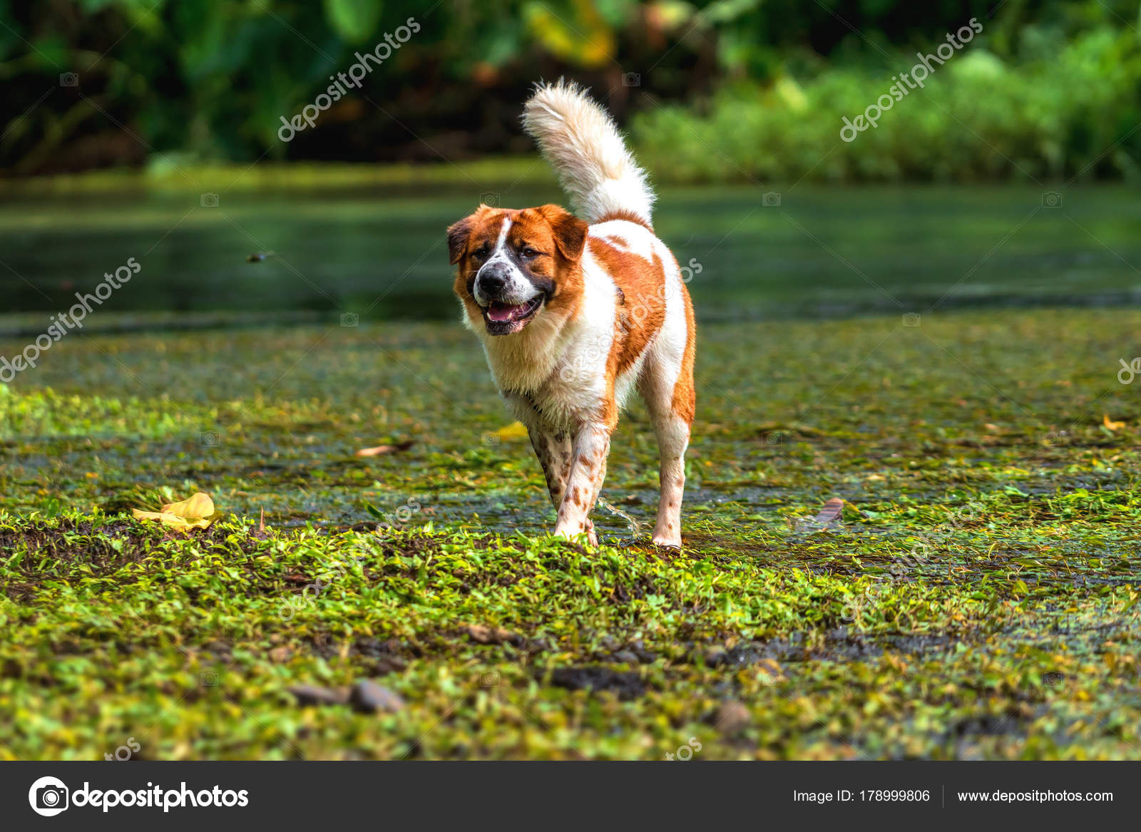Mixed Breed Dog Brown White Color Standing Lake Deep Forest — Stock ...