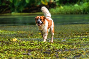 Mixed breed dog in brown with white color standing over the lake in the deep forest, animal and nature concept