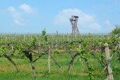 Pohled na farmě vinařství na jaro v zelené grapevine