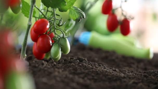 Ruce pracují půdy cherry rajčata lék zeleninová zahrada