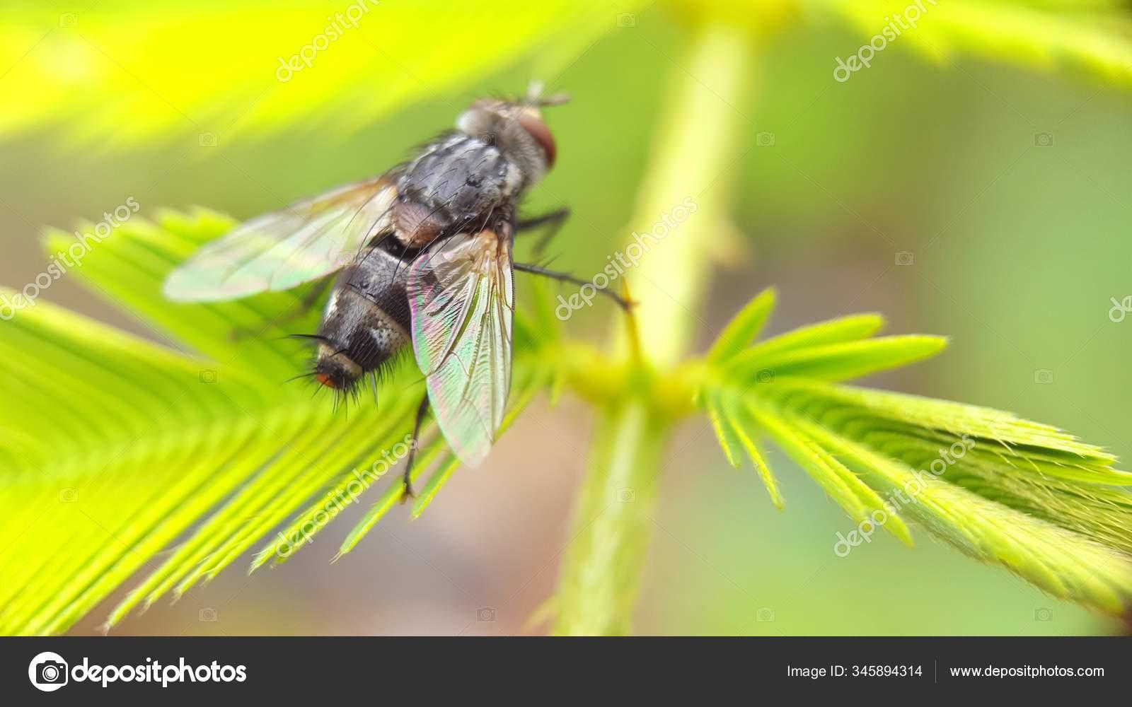 Diptera parazita