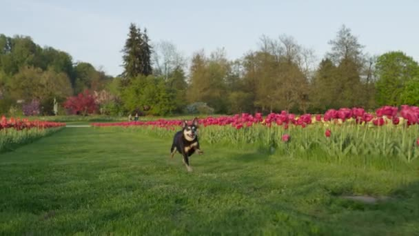dog running on green lawn with tulips
