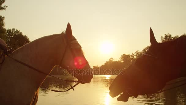 CLOSE UP: Two beautiful horses loving each others company at sunrise