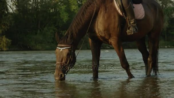 CLOSE UP: Thirsty horse drinking refreshing cold water from riverbed
