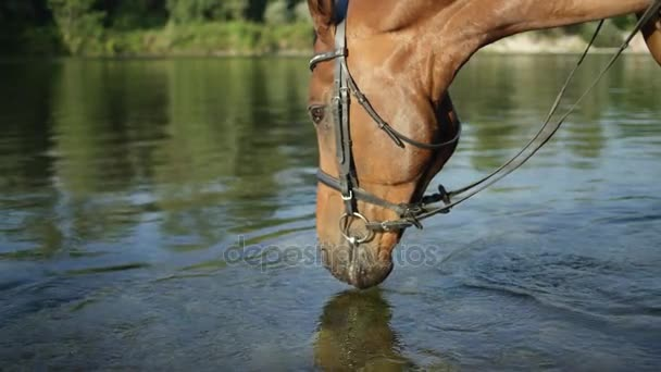 CLOSE UP: Beautiful thirsty brown horse drinking water from crystal clear river