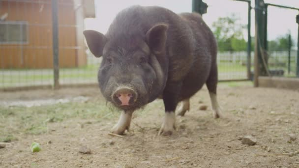 CLOSE UP: Adorable small and fat black piggy chewing food on big animal ranch