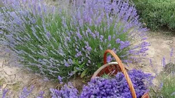 Sommer. Lavendelfeld. wunderschöne Blüten der luxuriösen Lavendelkönigin der Aromatherapie.