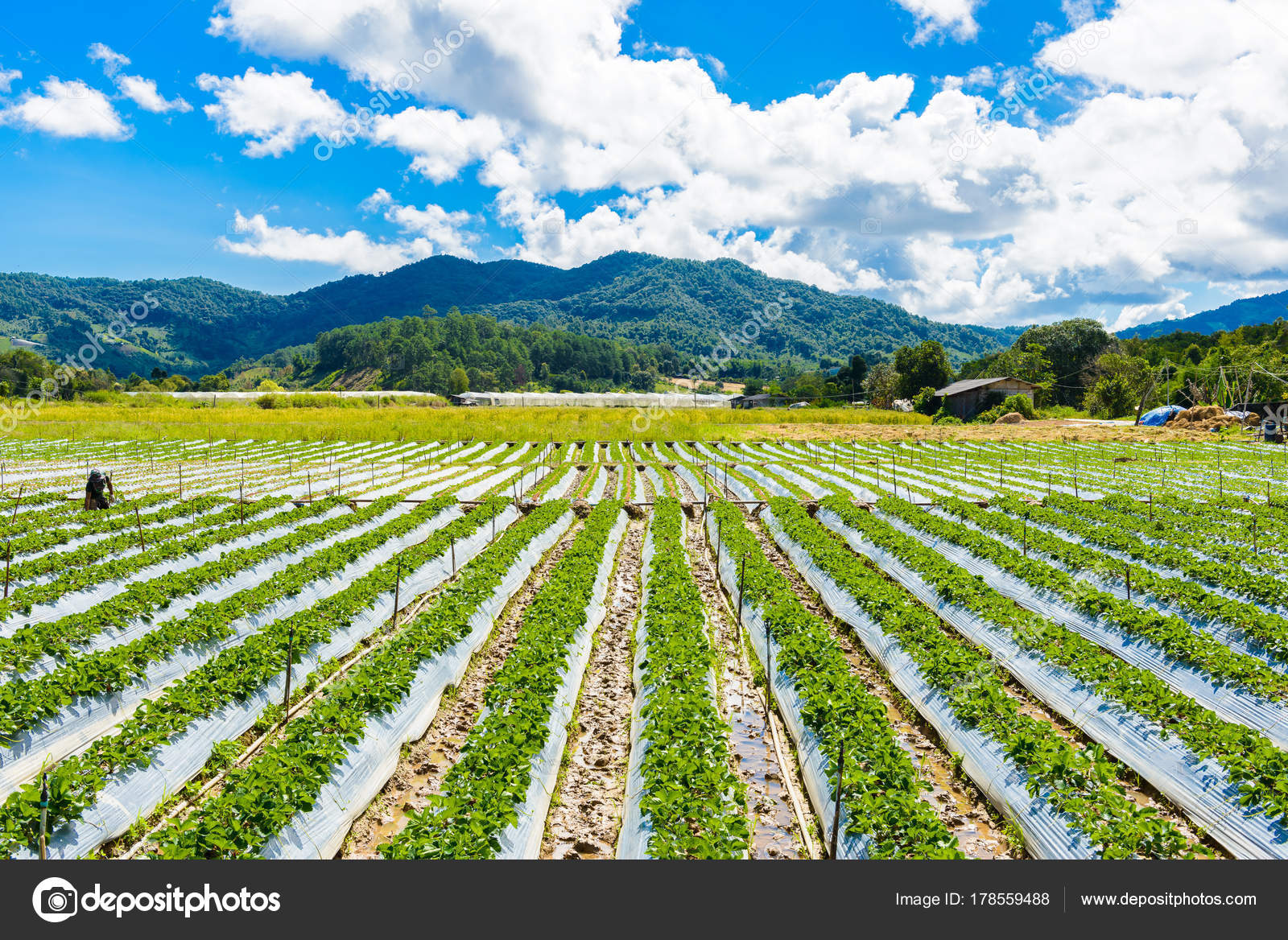 Preparation Soil Strawberry Cultivation Strawberry Field Partially