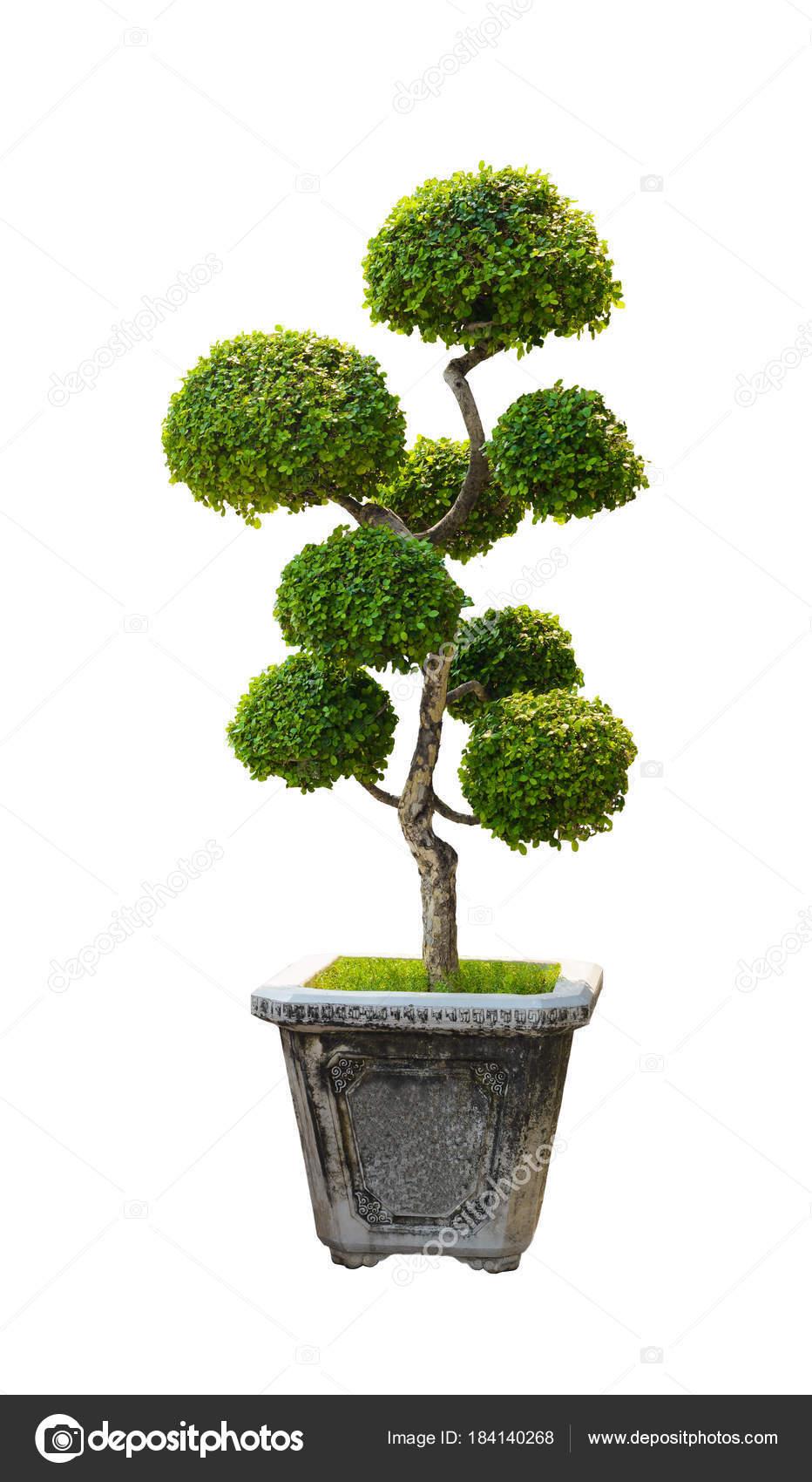 Bonsai Tree Dwarf Tree Isolated On White Background Stock Photo