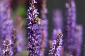 Fotografie Detailní krajina záběr levandulové květiny s rozmazané levandulové květy v pozadí