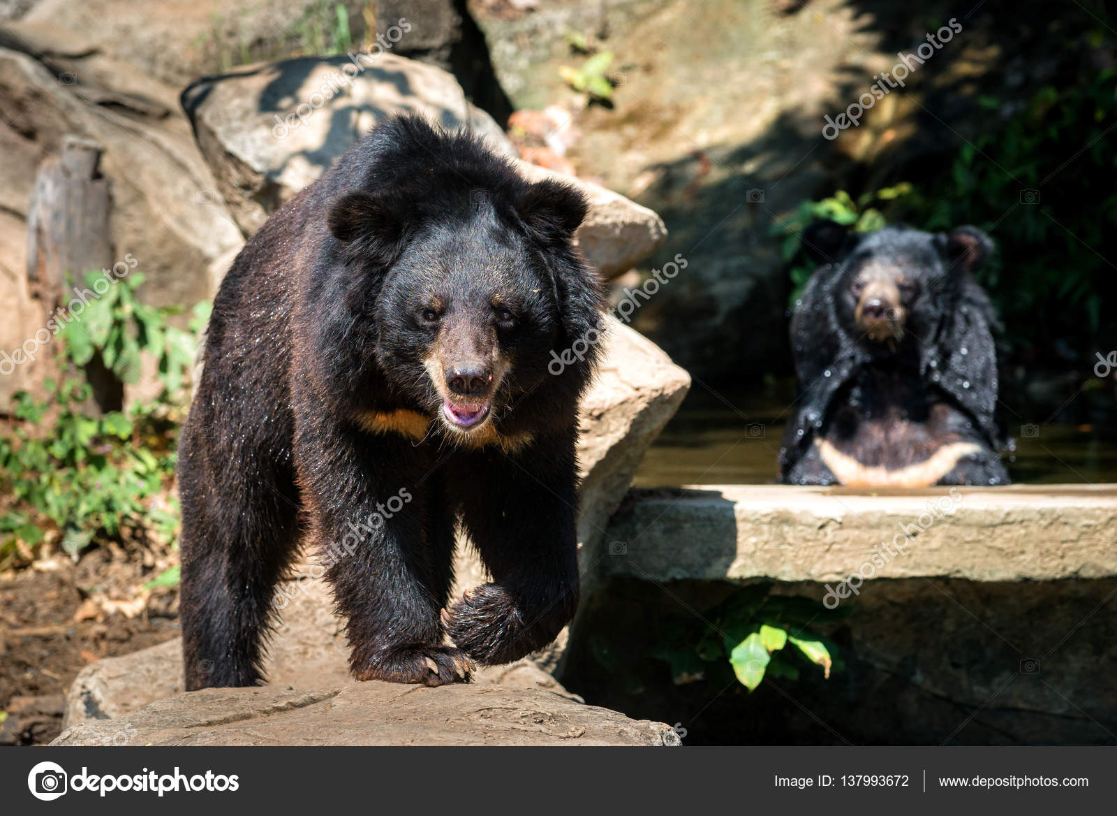 two bears sitting on the rock facing looking camera stock photo