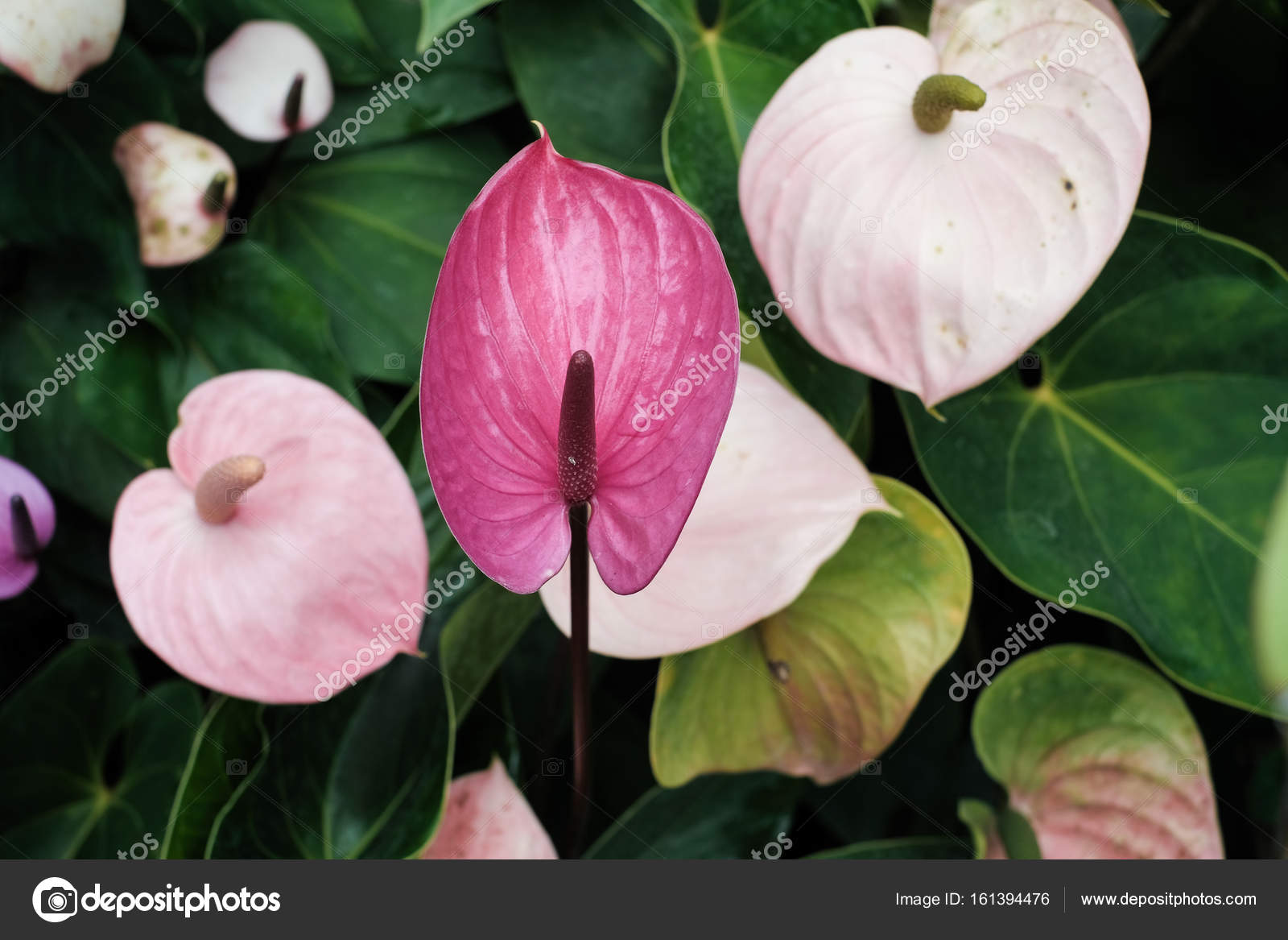 Colorful pastel of flamingo flower soft focus stock photo colorful pastel of flamingo flower soft focus photo by crazybboy mightylinksfo Images