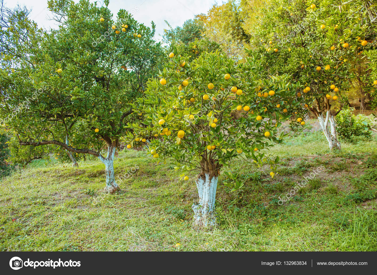 Bomen In Tuin : Oranje bomen in de tuin u2014 stockfoto © nata lunatad #132963834