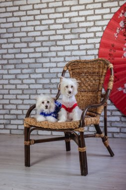 Chinese Crested Dog Studio photo