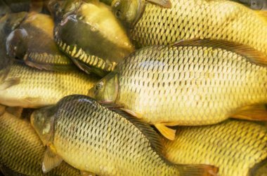 Carp live caught raw fish with scales in the water, close up