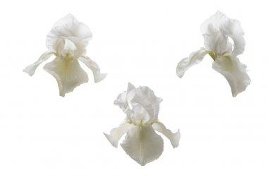 White iris flower head isolated on white background
