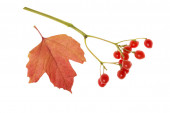 Red berries and a leaf of viburnum isolated on white background