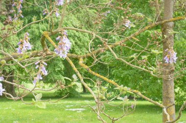 Branches with flowers of Paulownia tree