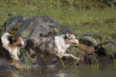 Two Australian shepherd dogs run