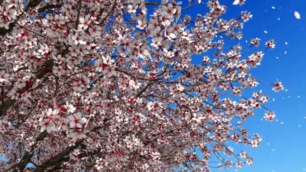 Close up of sakura cherry blossom and pink flower petals falling from tree in slow motion against clear blue sky background at spring day. High detailed realistic 3D animation rendered in 4K