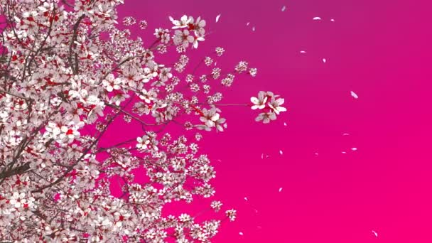 Decorative spring season 3D animation of japanese sakura cherry tree in full blossom and flower petals falling in slow motion against plain pink magenta color background rendered in 4K
