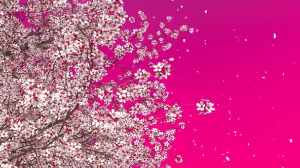 Close up low angle view of blooming sakura cherry tree crown with flower petals falling in slow motion against vivid pink magenta color background. Decorative 3D animation rendered in 4K
