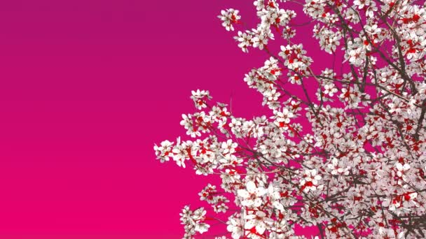 Close-up of japanese sakura cherry tree crown in full blossom against copy space pink magenta color background. Decorative spring season 3D animation rendered in 4K