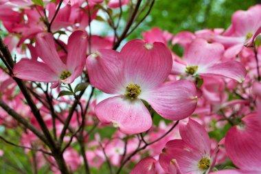 Pink Cornus florida rubra tree also known as pink flowering dogwood tree