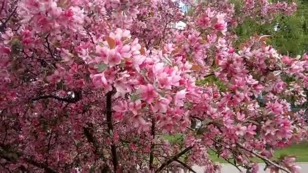 Jabloň červené květy kolébat ve větru, husté květenství divoké jabloně