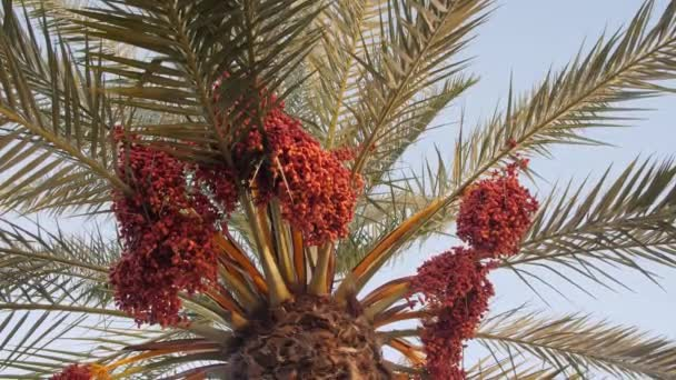 Date Palm Tree With Ripe Fruits And Branches Moving in The Wind, Palm Tree with date fruits.