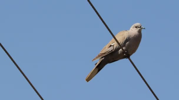 close up portrait of white dove on the wire